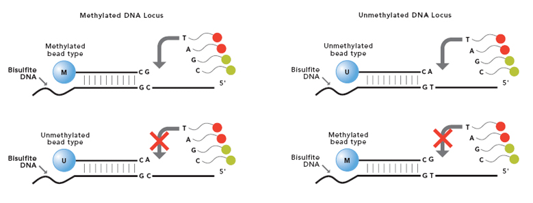 Infinium Methylation Assay Illustration
